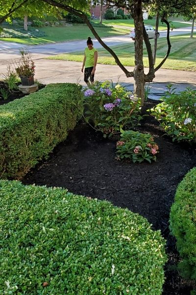 A large landscape bed filled with fresh mulch and expertly pruned shrubs.